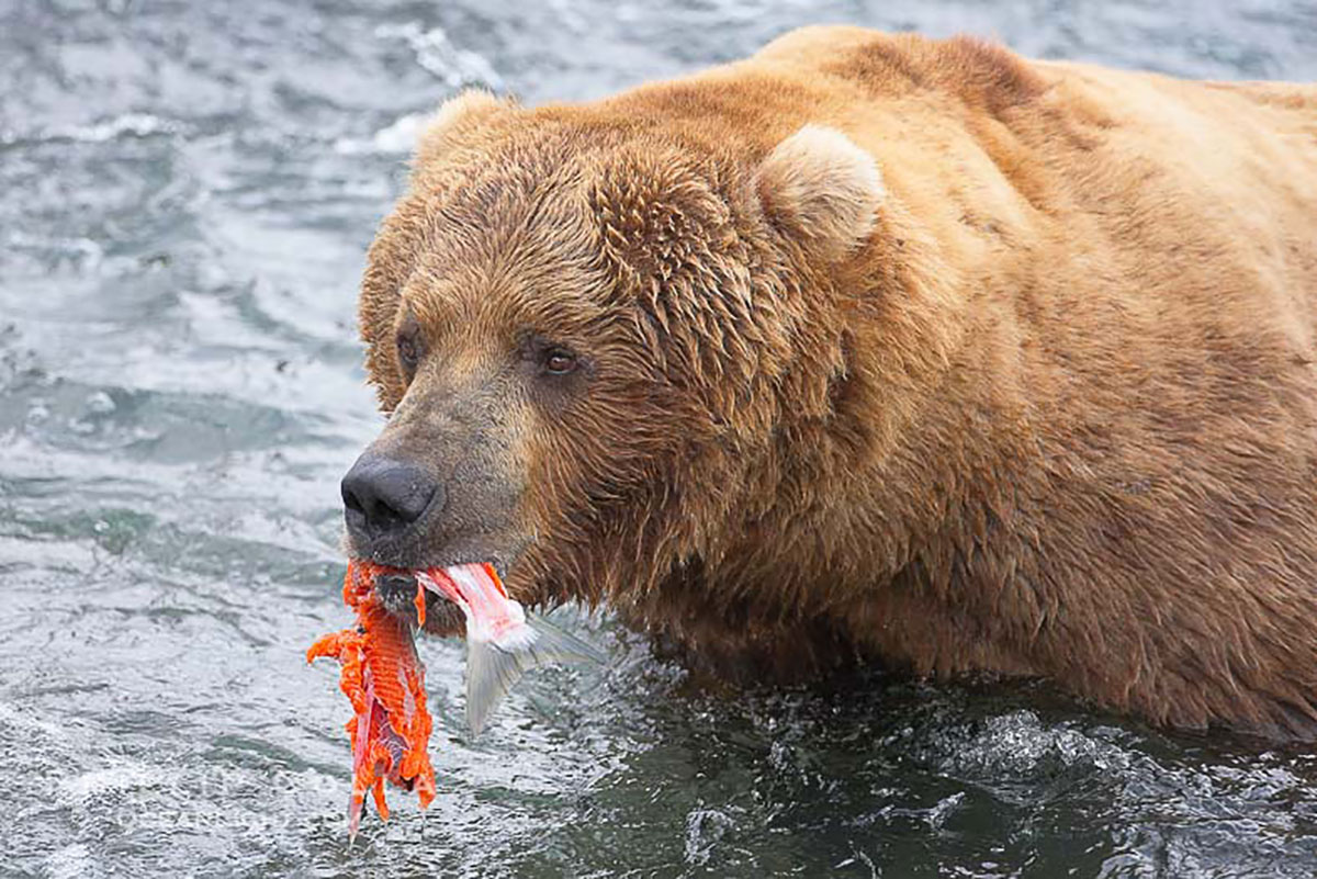 For twenty bucks the center will name a salmon after your ex, and then feed it to their bears. (Contributed/Kendal Hemphill)