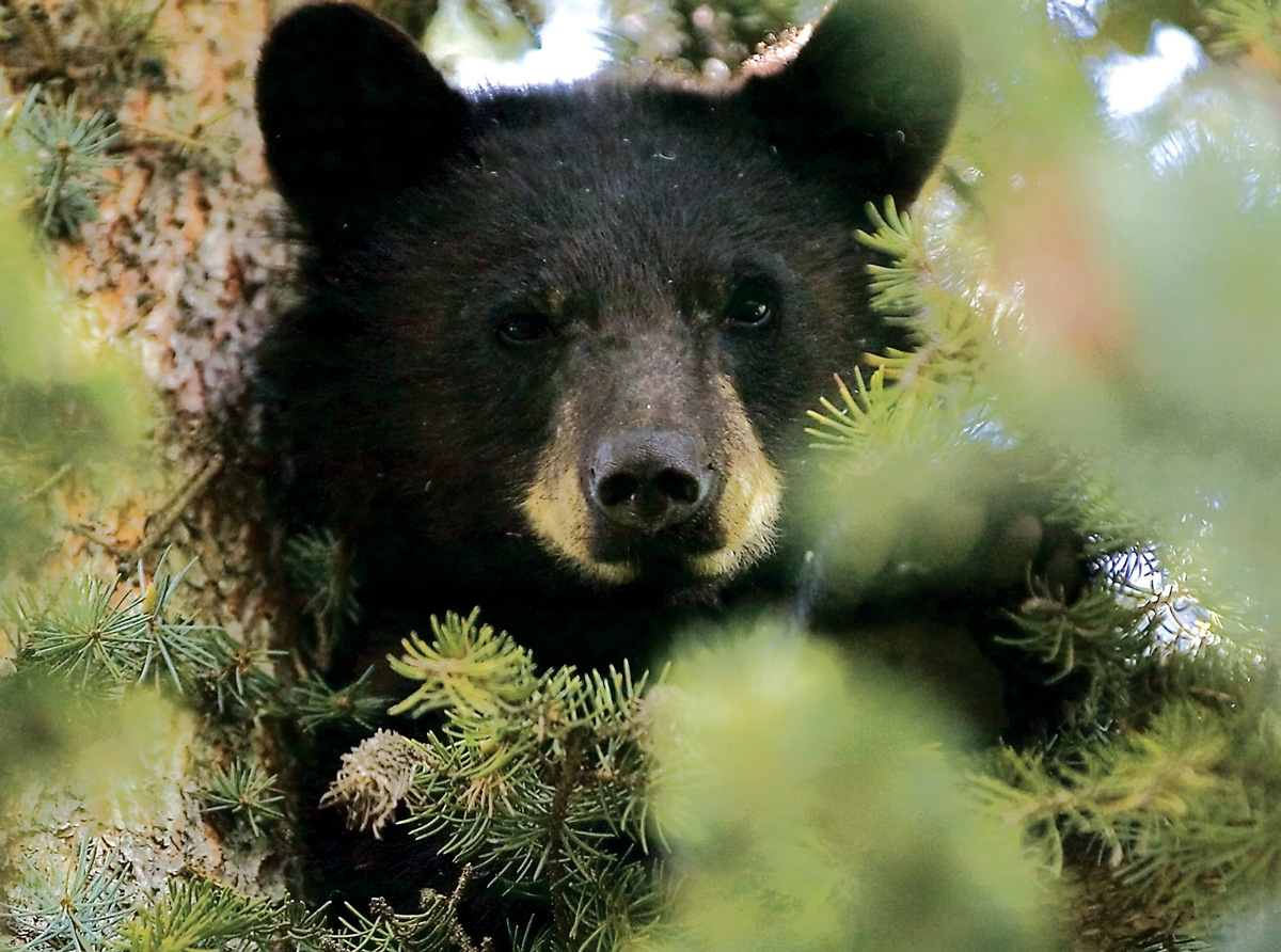 This is a bear. The picture is here for your reference, in case you didn't know what a plain 'ol bear looked like. (Kendal Hemphill)