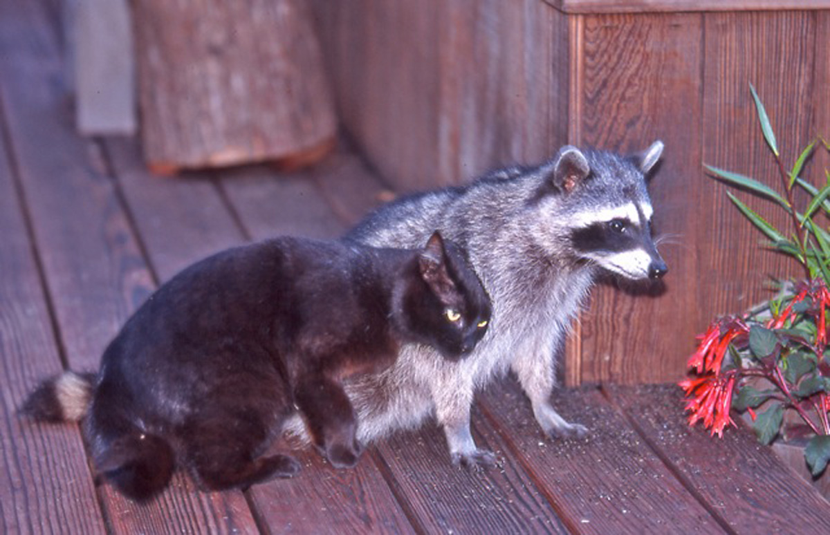 The raccoon ate my wife's cat?