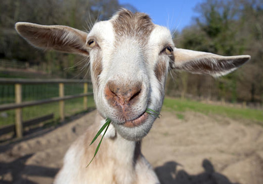 Goat funny (Photo provided by Kendal Hemphill)