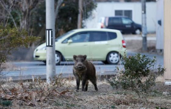Hog car (Photo provided by Kendal Hemphill)