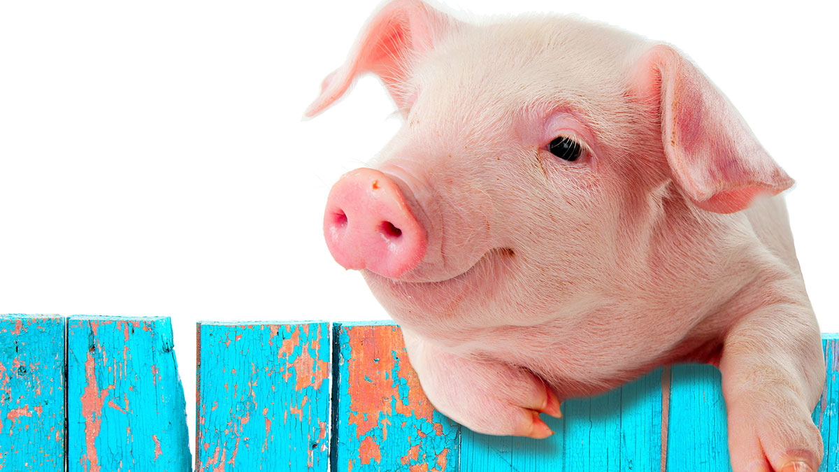 The hogs all got excited, and the vegans were picking up pigs to cuddle them. Baby pigs don't like to be cuddled. (Stock Image)