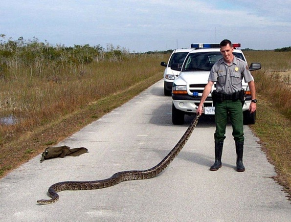 Pythons (Photo provided by Kendal Hemphill)