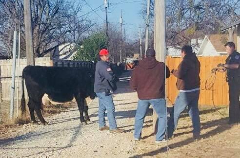 SAPD Officers capture a cow.  SAPD photo