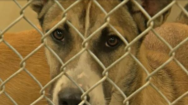 San Angelo Animal Shelter is Full and in Need of Foster Homes