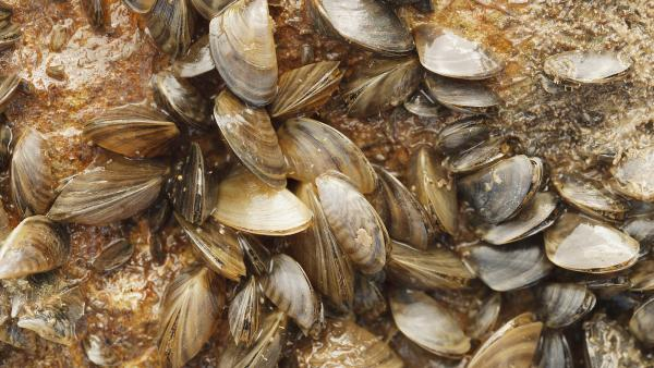 Lake Brownwood Fully Infested with Invasive Zebra Mussels