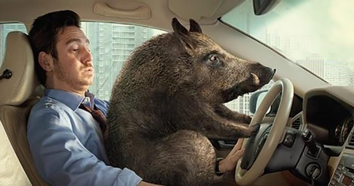 Hog driving.