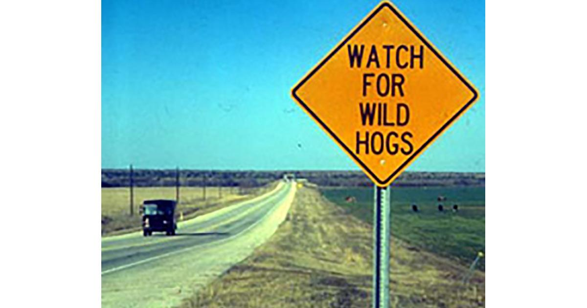 watch for wild hogs.