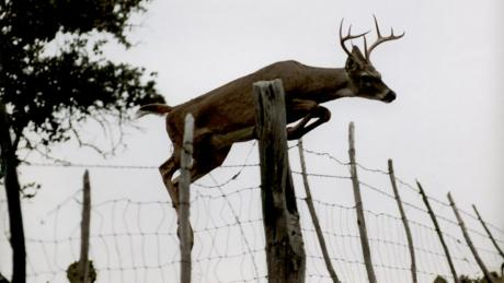 White tailed deer jumping fence.  (LIVE! Photo Archive)