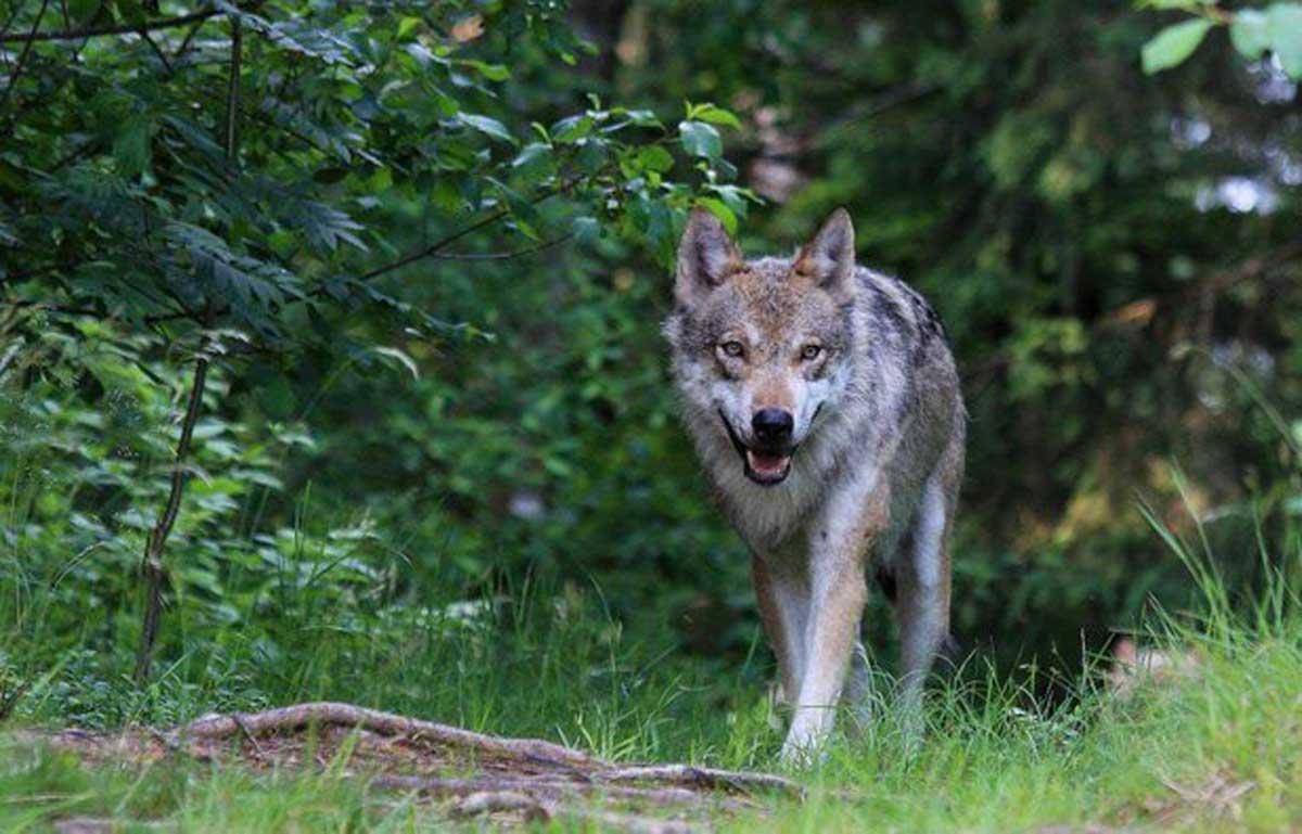 A wolf (K Hemphill)