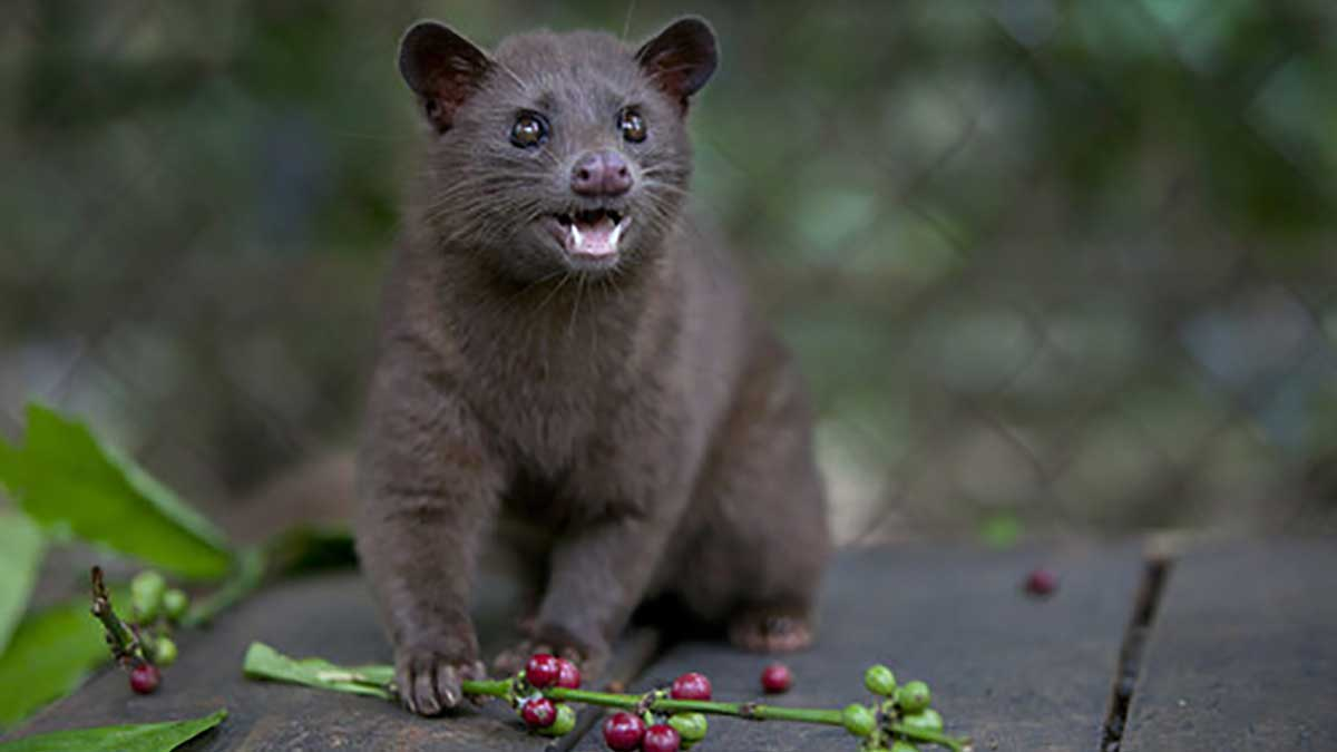 Asian palm civet cat. (K. Hemphill)