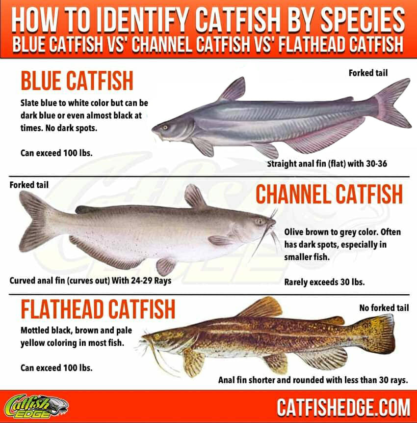 Blue, Yellow and Flathead catfish. (CatfishEdge.com)