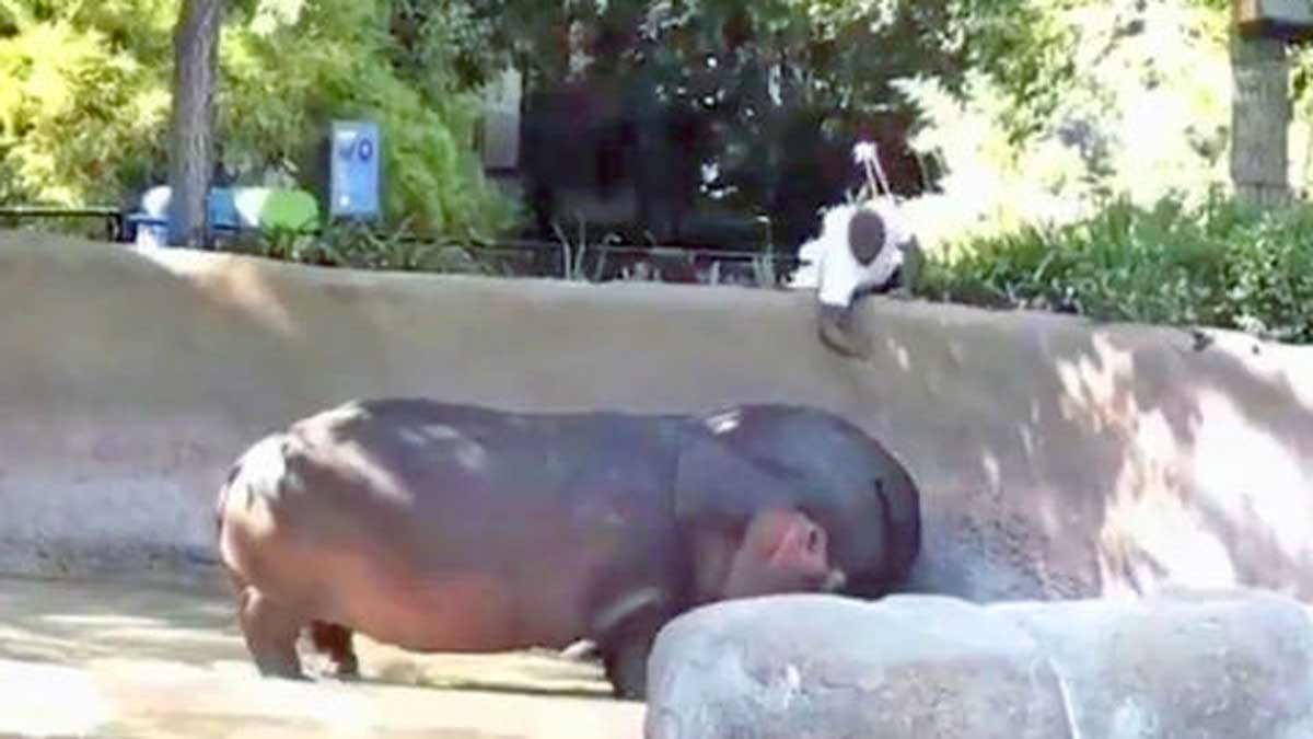 That hippo. (Contributed/Kendal Hemphill)