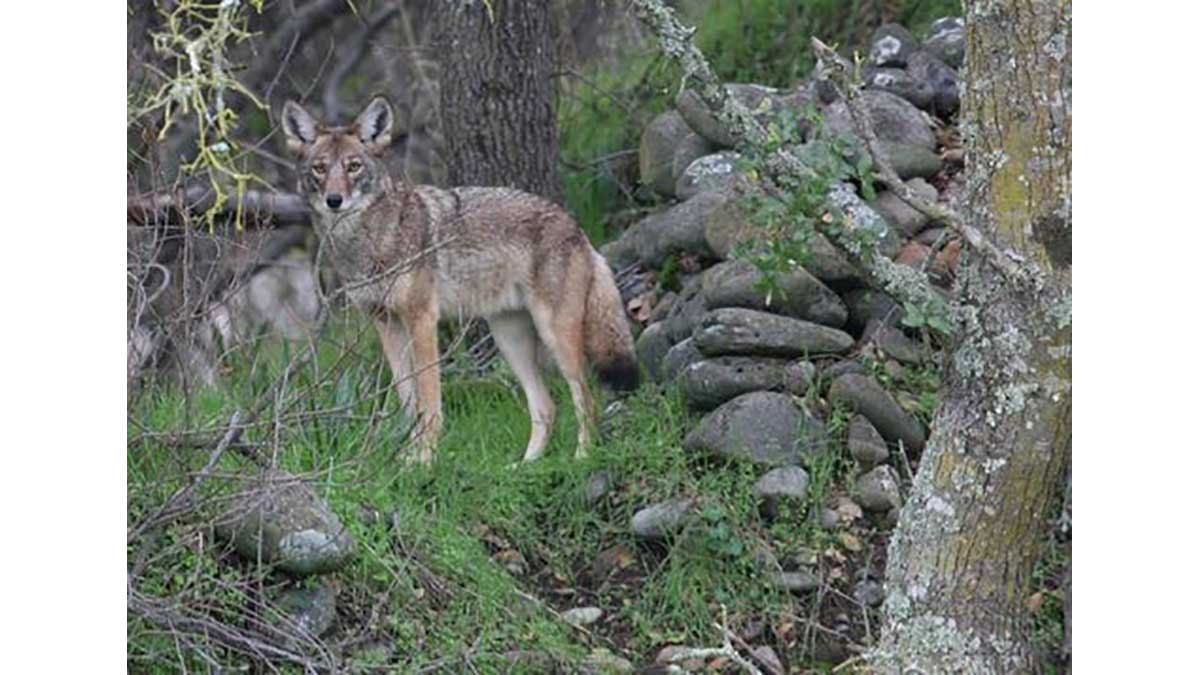 Montreal coyote.