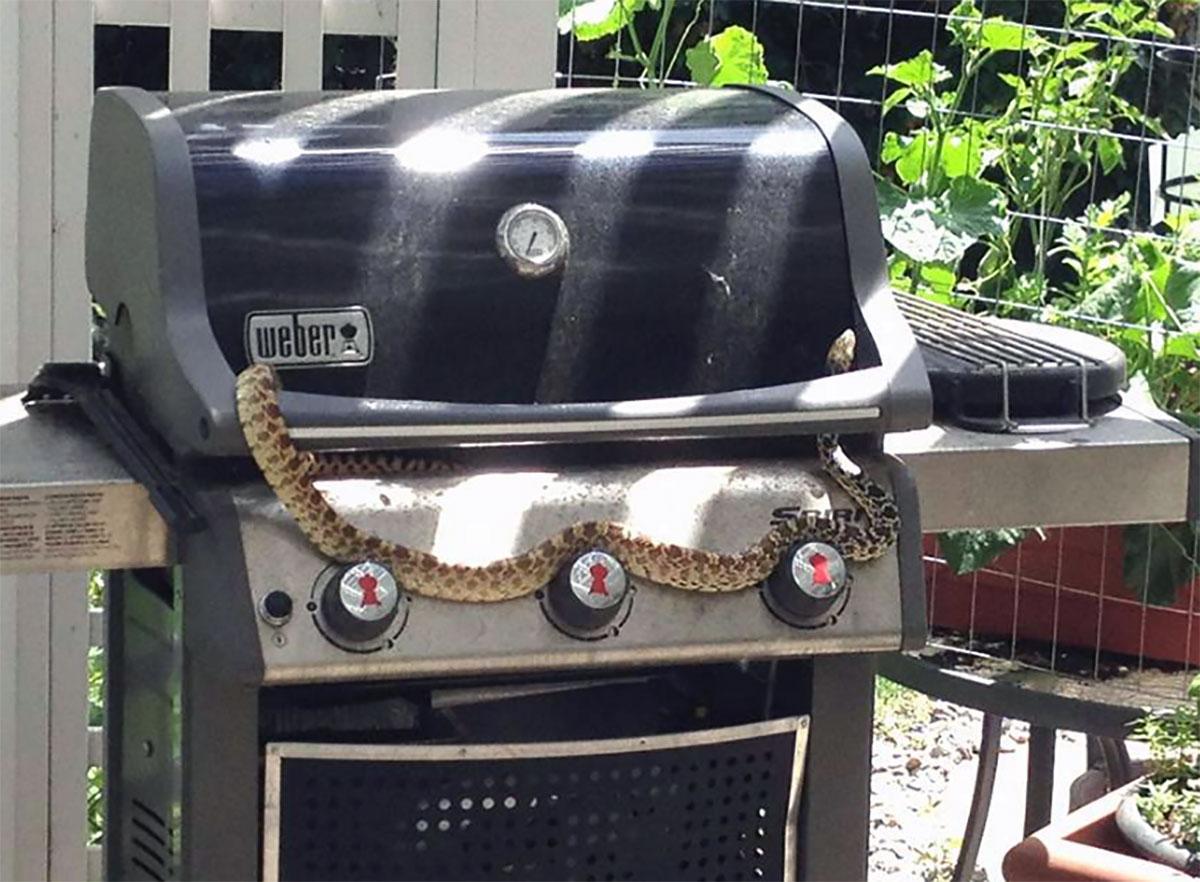 A snake in the grill. (K Hemphill)