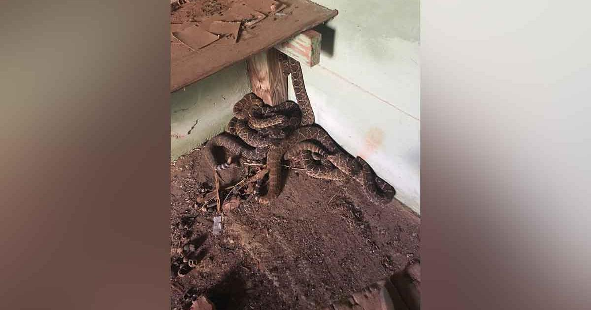 Rattlesnakes discovered in the cellar of a Jones County home. (Facebook/Bigcountrysnakes)